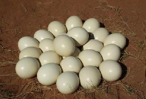 Ostrich Fertile Eggs