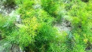 Shatavari Nursery Plants