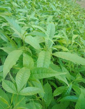 Hollock {Terminalia myriocarpa)