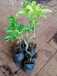 Passion Fruit Grafted Plant\'s