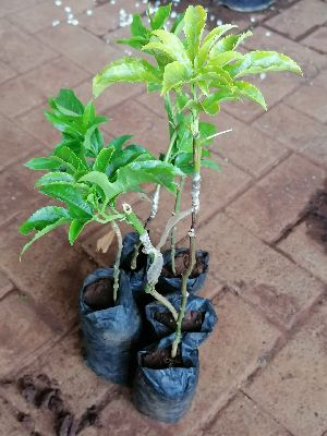 Passion Fruit Grafted Plant's