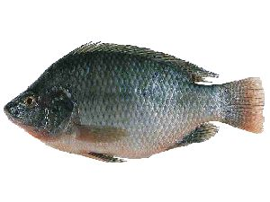 Gift Tilapia Fish Seeds