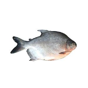 Rupchanda Fish Seeds