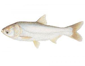 Silver Carp Fish Seeds