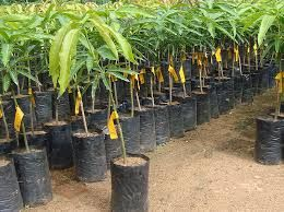 Mango Nursery Plant