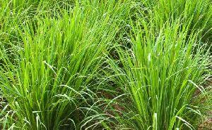 Palmarosa Plant