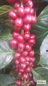 Arabica Cherry With Skin Coffee Beans