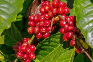 Robusta Cherry With Skin Coffee Beans