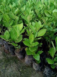 Golden Custard Apple Plant