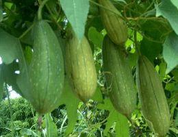 Fresh Luffa Gourd