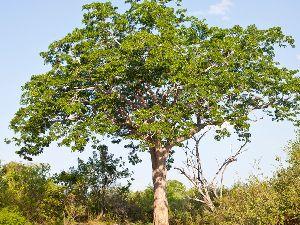 Indian Mahogany Tree