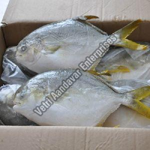 Frozen Pompano Fish