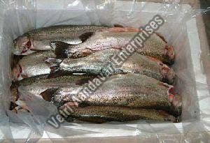 Frozen Trout Fish