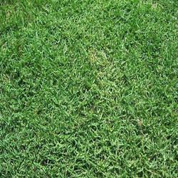 Bermuda Grass Carpet