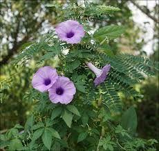Ipomoea Plant