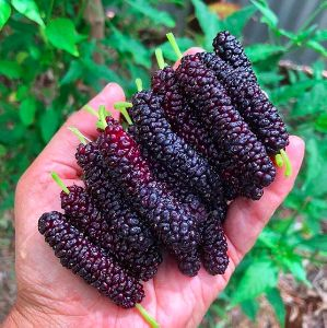 Fresh Mulberries