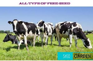 Cattle Feed Seed