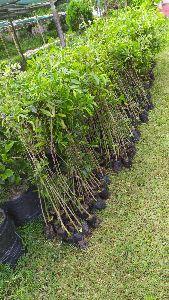 Agar Plants