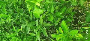 Mousambi Plant