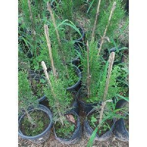 Pencil Pine Plants