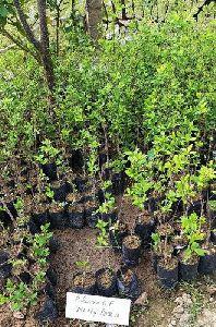 Plum Plants