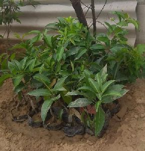 All Time Mango Plant