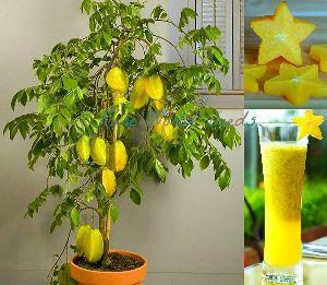 Carambola Plant