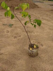 Kamrakh Plant