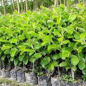 Kashmiri Apple Ber Plant