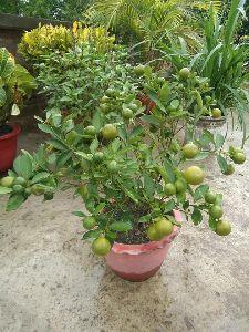 Nimbu Plant