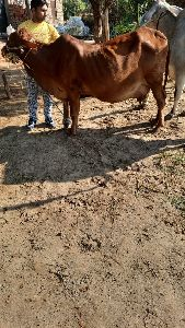 ABSBreed Cow