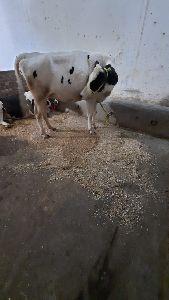 HF Pregnant Heifers