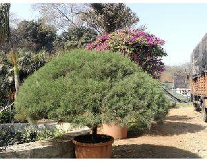 Casuarina Equisetifolia Plant