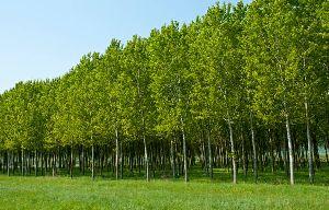 Poplar Plant
