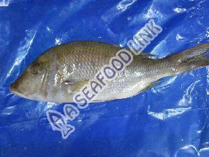 Frozen Emperor Fish