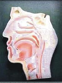 Human Head And Neck L.s.