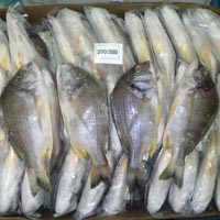Black Sea Bream Fish