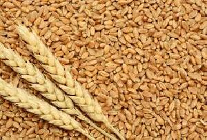 Wheat Seed 02