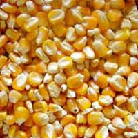 Yellow Maize Animal Feed