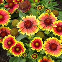 Fresh Gaillardia Flowers