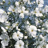 Fresh Gypsophila Flowers