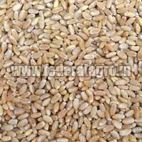 MP Boat Wheat Seeds