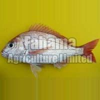 Pangasius Boneless Fish