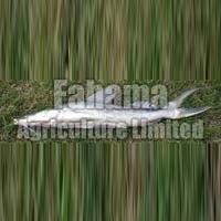 Singhara Boneless Fish