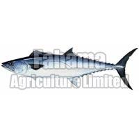 Surmai Boneless Fish