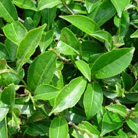 Tea Tree Oil