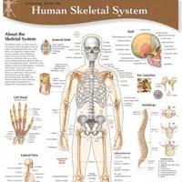Full Body Chart