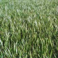 Acorus Calamus Plants
