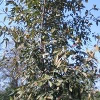 Cassia fistula