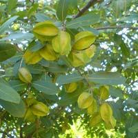 Arjune Tree